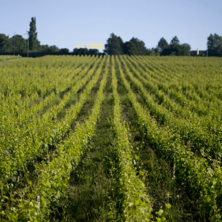 Les vignes en biodynamie