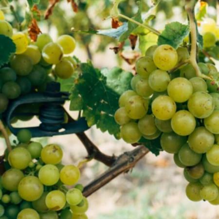 Les vignes au Domaine Boisson