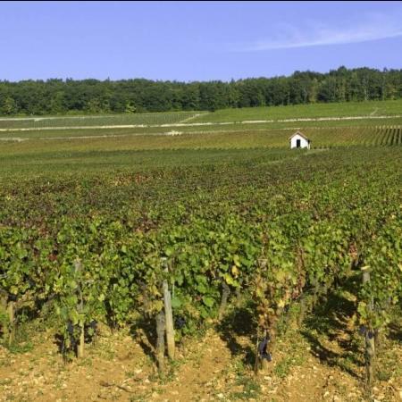 Vignoble du domaine de Montille