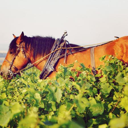 Labour à cheval du vignoble