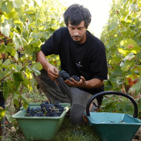 Travail manuel et minutieux à la vigne