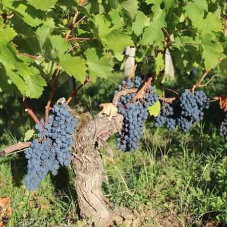 Pieds de vigne de la propriété