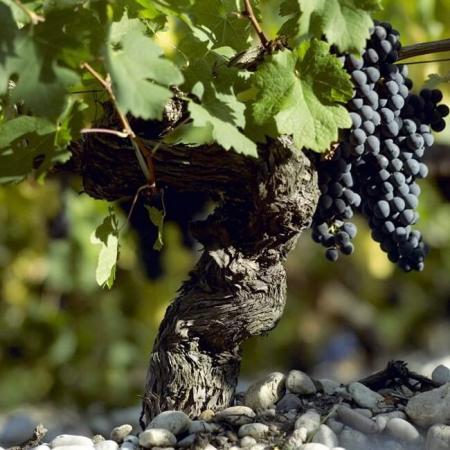 Un pied de vigne du Château Citran