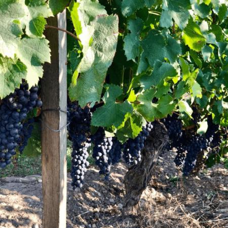 Les vignes du Château Haut-Bergey