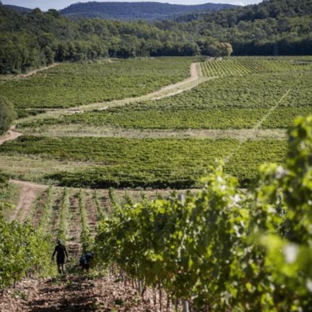 Le vignoble du Château Peyrassol