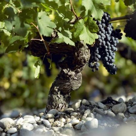 Vignoble en AOC Graves
