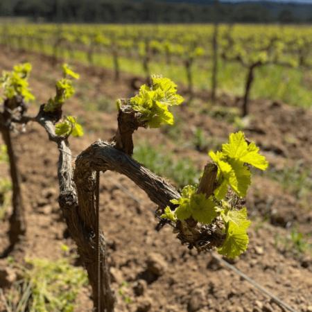La vigne bercée par le soleil de Porquerolles