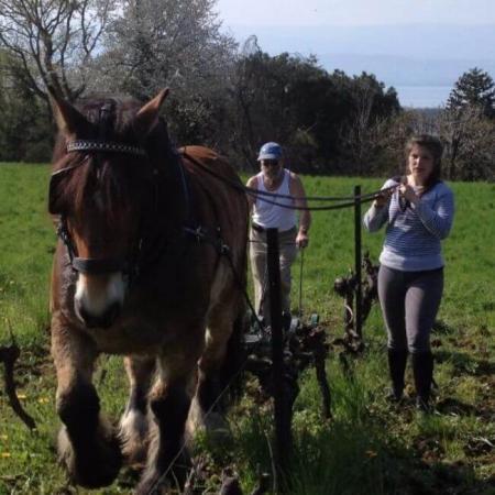 Les travaux de la vigne à cheval