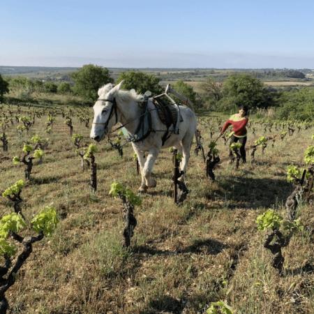Travail de la vigne à cheval