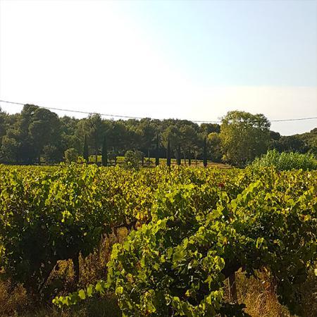 Le vignoble du Domaine Hauvette