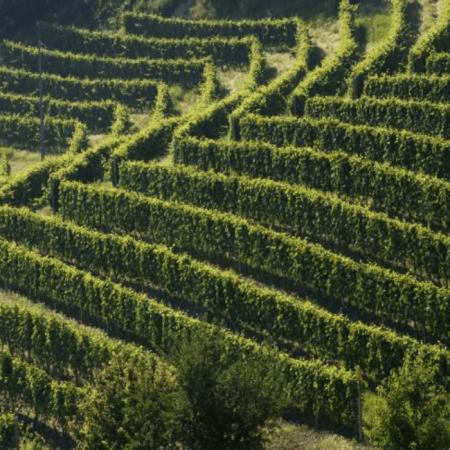 Les vignes  du domaine piémontaises
