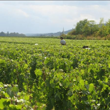 Vignoble à Meursault