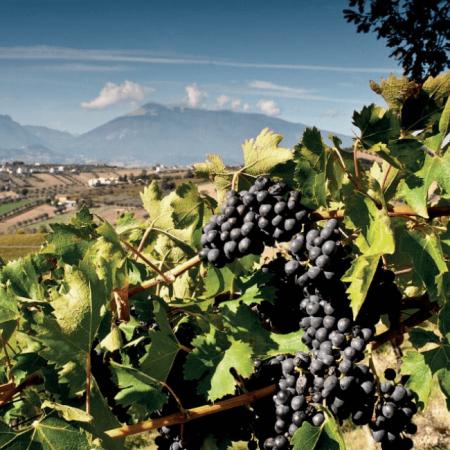 Les vignes de Trebbiano