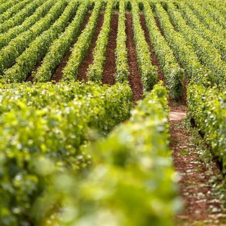 Les vignes du Domaine Michel Magnien