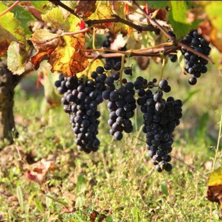 Un vignoble unique en Fiefs Vendéens