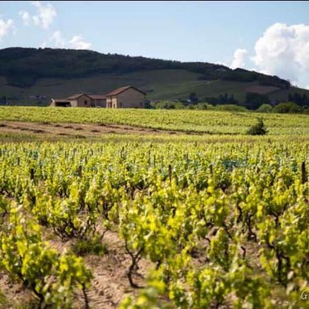 Les vignes du domaine à Moulin à Vent