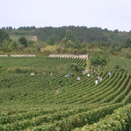 Les vendanges au Domaine Rémi Jobard à Meursault