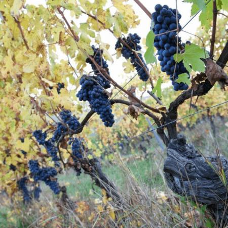 Les vignes du Domaine Roagna