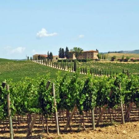 Les vignes du domaine Tenuta San Guido