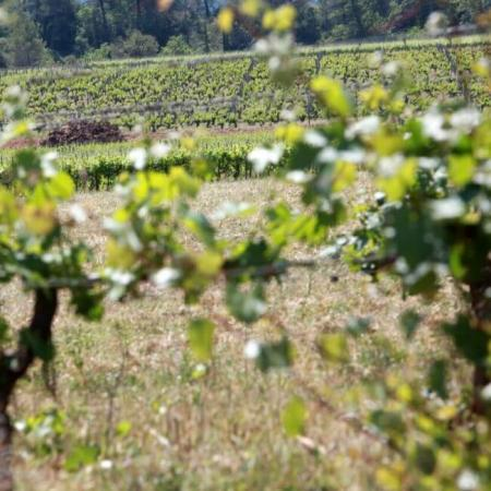 Le vignoble du Château Vignelaure