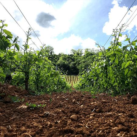 Le vignoble en agriculture bio et en biodynamie