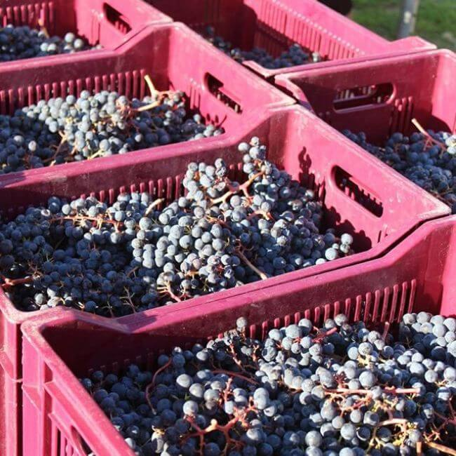 Caisse de raisins du Château Bellefont-Belcier