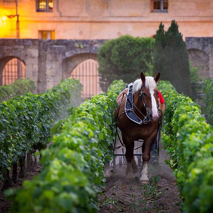 cheval de labour vignes château canon