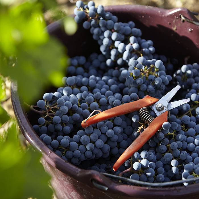 Château Figeac vignes raisin