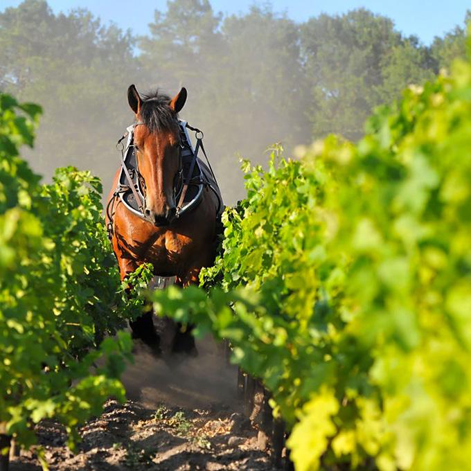 Vignes Domaine de Chevalier