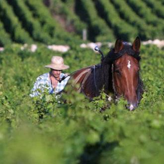 Dans les vignes du Domaine des Roches Neuves