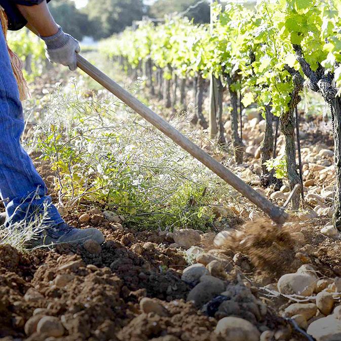 Travail des vignes en biodynamie