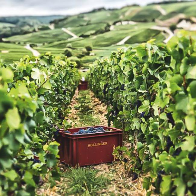 Caisse estampillées Bollinger dans les vignes