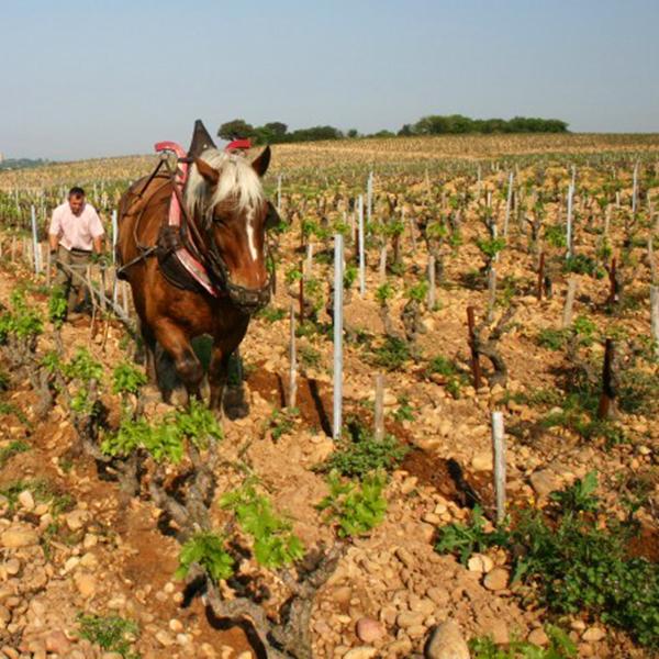 Labours vignes Beaurenard