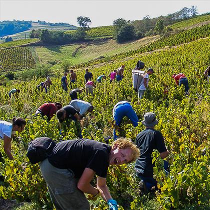 vendangeurs en plein travail au vignoble