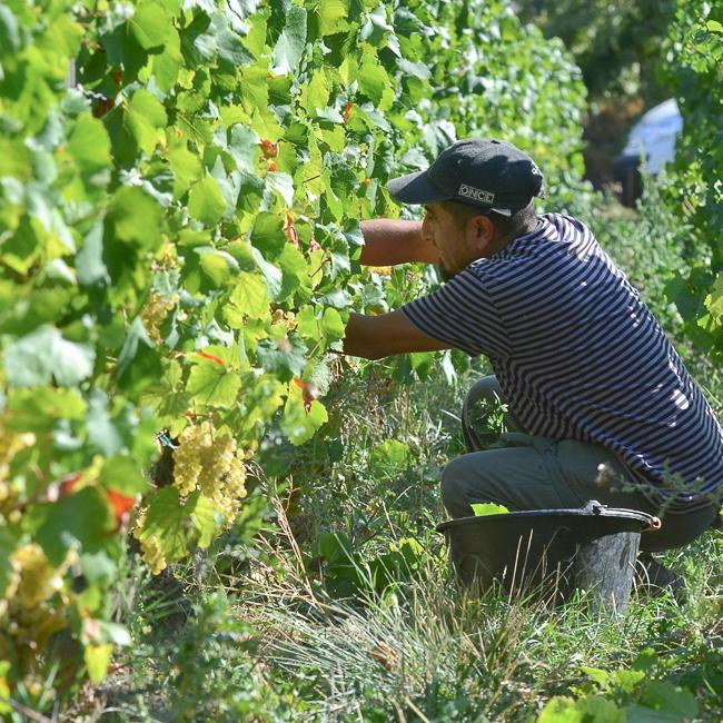 vigneron dans les vignes