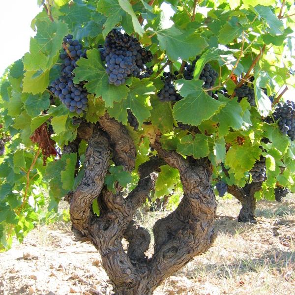 Les vignes du Domaine Gayda