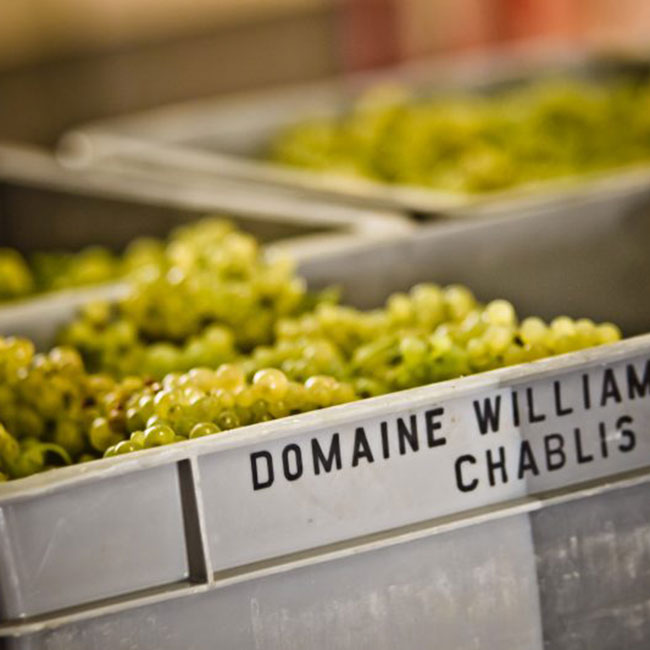 les vendanges du domaine William Fèvre