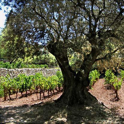 L'olivier au milieu des vignes de Terrebrune