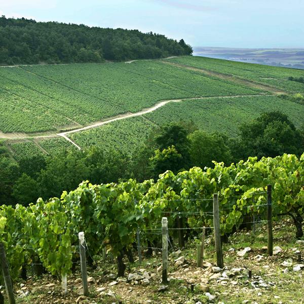 Vignes de Drouhin Vaudon