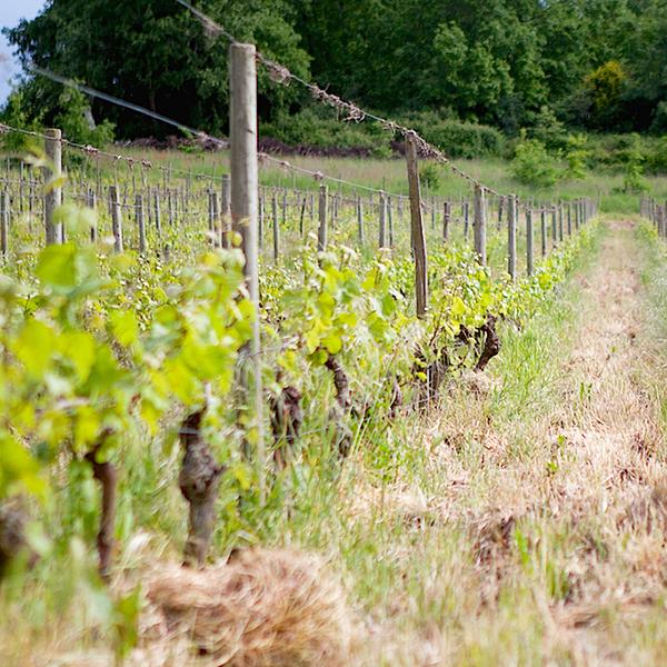 Les vignes du Château de Fosse-Sèche