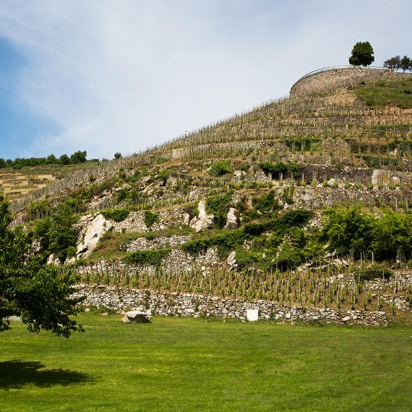 Les vignes du domaine Georges Vernay