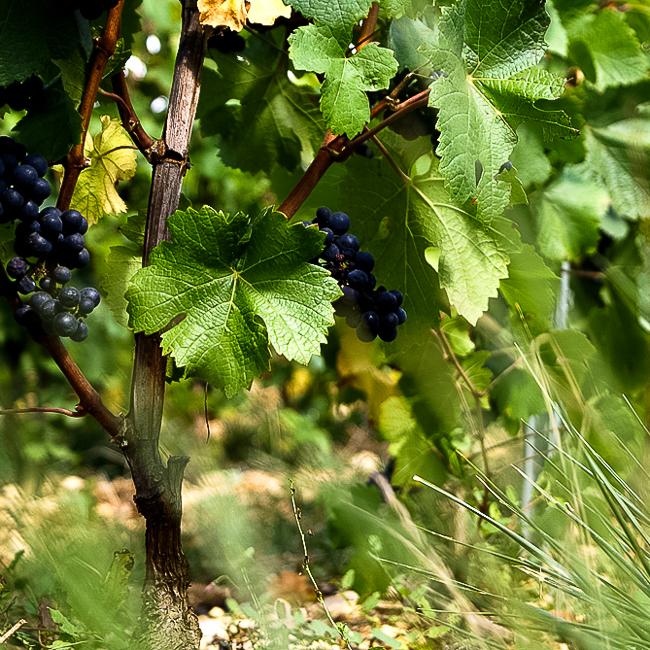 feuilles de vignes et grappes de raisin au vignoble